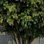 04 Casas com 490m² terreno   São Caetano do Sul/SP